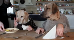 VIDEO – Labrador and his friend dining in a restaurant